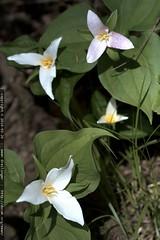 trailside trillium flowers