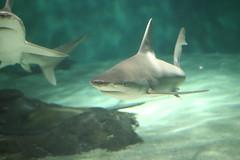 animal, fish, great white shark, shark, marine biology, fauna, underwater, carcharhiniformes, requiem shark, tiger shark,
