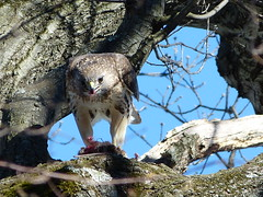 red-tailed hawk feeding