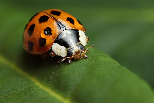 Harlequin ladybird on rhododendron leaf #3