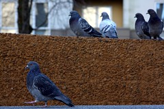 pigeons, lovejoy fountain