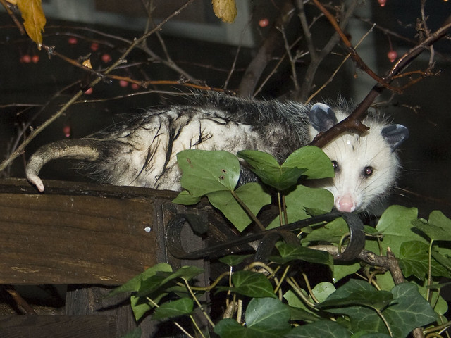 Wet Possum in the back yard | Flickr - Photo Sharing!