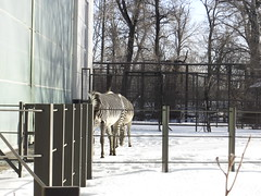 Zebras outside in the snow