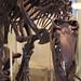 Small photo of Allosaurus