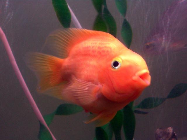 my pet parrot fish 1