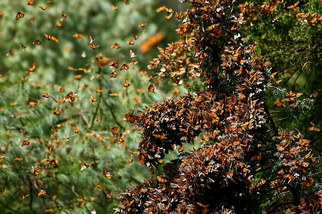 Photo of Monarchs in Mexico