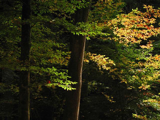 tree glow - Dismals Canyon