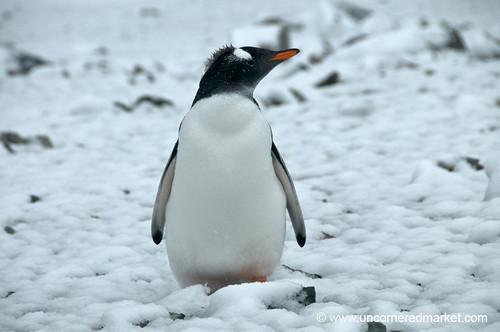 Gentoo Penguin Mohawk? Antarctica by uncorneredmarket