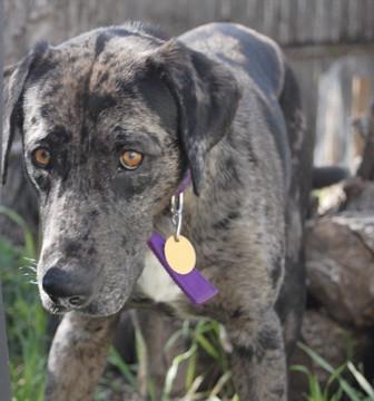 Catahoula Leopard Dog Rescue Texas