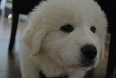 dog breed, animal, polish tatra sheepdog, dog, pet, maremma sheepdog, slovak cuvac, carnivoran, great pyrenees, samoyed,