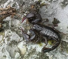 animal, scorpion, invertebrate, fauna, wildlife,