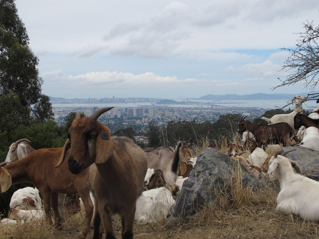 Goats clearing brush
