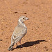 Small photo of Grey-backed Sparrow-Lark (Eremopterix verticalis) female