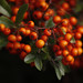 Pyracantha - Photo (c) Louise Forrest, some rights reserved (CC BY-NC-ND)