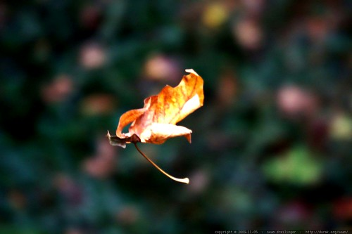 falling leaf     MG 8527