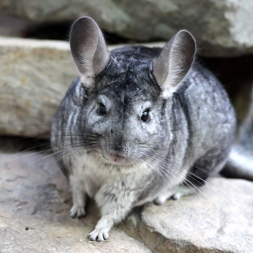 Image Gallery Long-tailed Chinchilla