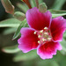 Clarkia - Photo (c) Philip Bouchard, some rights reserved (CC BY-NC-ND)