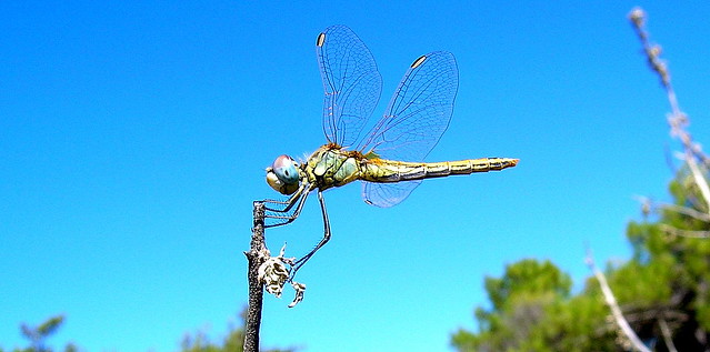 La libellula del parco - the dragonfly of the park