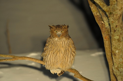 毛腿魚鴞 blakiston`s fish owl
