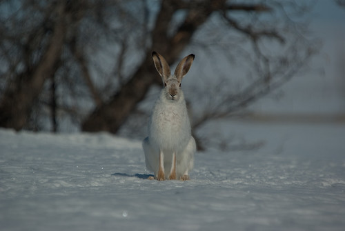 winter canada rabbit geotagged march pentax wildlife saskatchewan woodrow jackrabbit cooliris k10d pentaxk10d wildobs gmpentaxfan