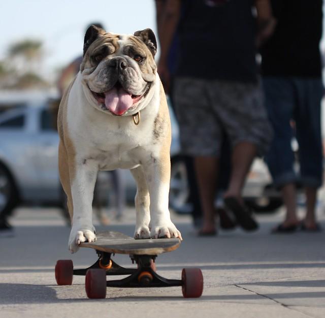 Floyd the skateboarding dog