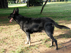 german shepherd dog(0.0), lapponian herder(0.0), karelian bear dog(0.0), east siberian laika(0.0), tervuren(0.0), belgian shepherd malinois(0.0), wolfdog(0.0), saarloos wolfdog(0.0), dog breed(1.0), animal(1.0), dog(1.0), dutch shepherd dog(1.0), pet(1.0), belgian shepherd(1.0), east-european shepherd(1.0), carnivoran(1.0),
