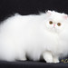 CFA Breed : Solid White PERSIAN by Garden State Cat Show