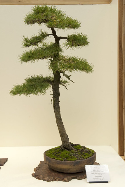 literati bonsai flickr photo sharing
