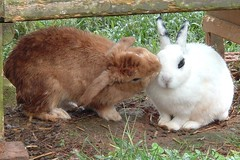 animal, rabbit, domestic rabbit, fauna, angora rabbit, rabits and hares,