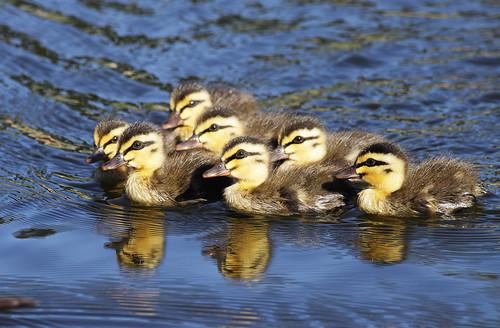 Pacific Black Ducklings