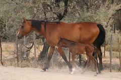 rein(0.0), halter(0.0), herd(0.0), grazing(0.0), pasture(0.0), animal(1.0), mane(1.0), mare(1.0), stallion(1.0), colt(1.0), foal(1.0), pack animal(1.0), horse(1.0), mustang horse(1.0),
