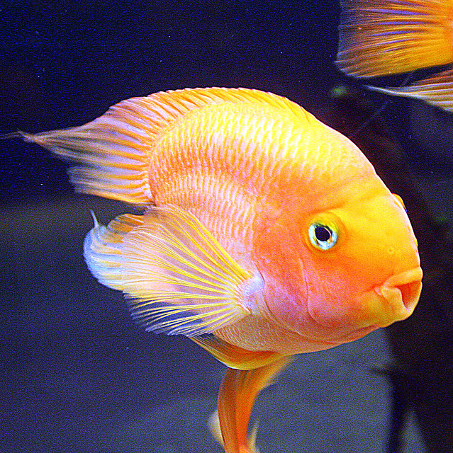 4375050887 b1c8735b12 for Blood parrot fish