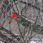 Cardinal Red in Winter