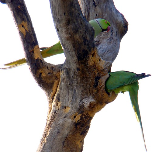 Tia / Rose-ringed Parakeet (Psittacula krameri), also known as the Ringnecked Parakeet