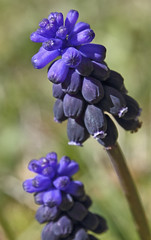 Nazarenos-Muscari neglectum.