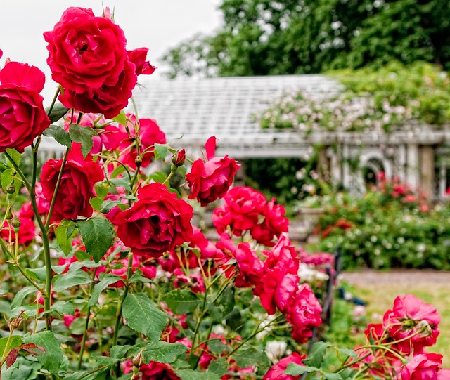 The Cranford Rose Garden in June. Photo by Antonio M. Rosario.