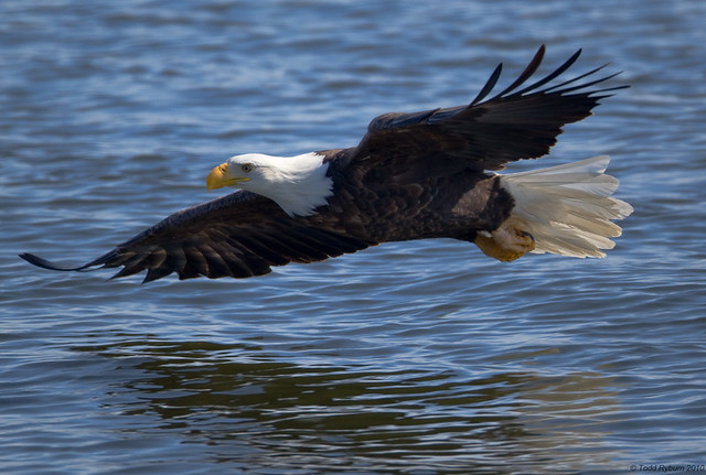 Bald Eagle zooming above the Mississippi