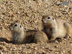 animal, squirrel, rodent, prairie dog, fauna, marmot, whiskers, wildlife,