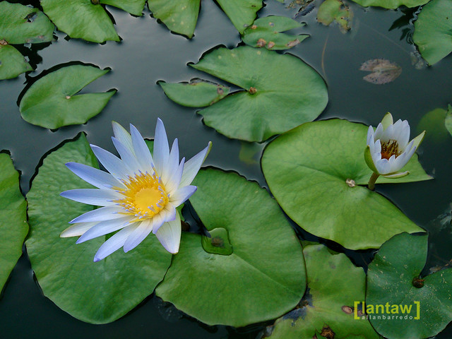Aguinaldo Shrine - Lotus flowers on the shrine grounds