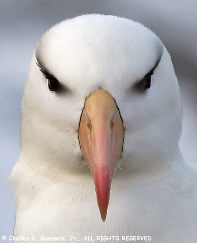 Black-browed Albatross portrait 0R7E0777