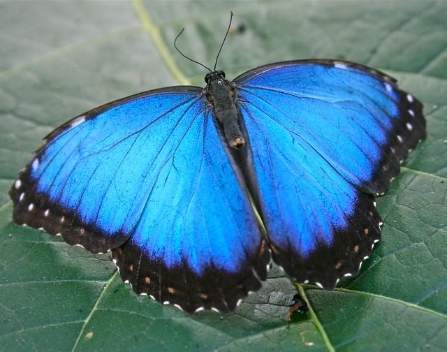 EXPLORE . Blue morpho ( Butterfly ) At the mariposario , EL SALVADOR