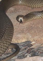 boas(0.0), boa constrictor(0.0), hognose snake(0.0), rattlesnake(0.0), sidewinder(0.0), animal(1.0), serpent(1.0), snake(1.0), reptile(1.0), fauna(1.0), viper(1.0), scaled reptile(1.0), colubridae(1.0), wildlife(1.0),