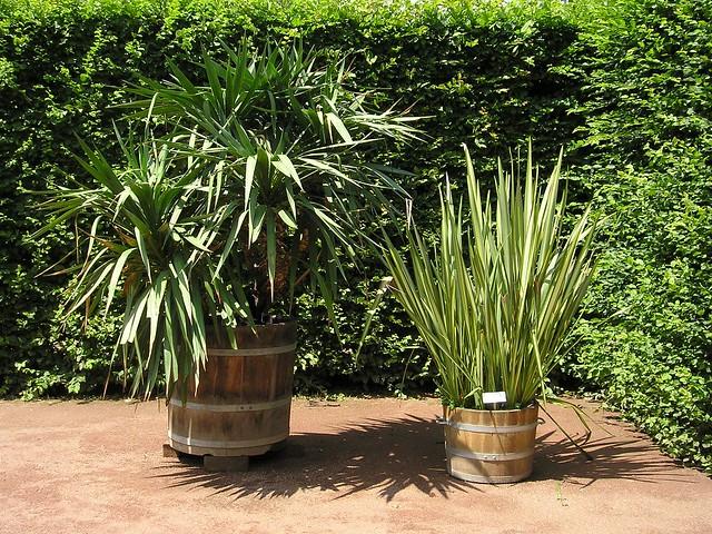 yukka palme yucca yukka palme yucca im schlosspark. Black Bedroom Furniture Sets. Home Design Ideas