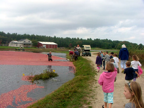 How to Harvest Cranberries