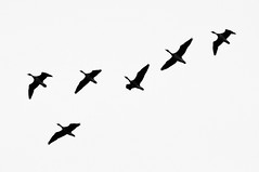 animal migration, animal, wing, silhouette, flock, illustration, bird migration, crane-like bird, bird, flight,