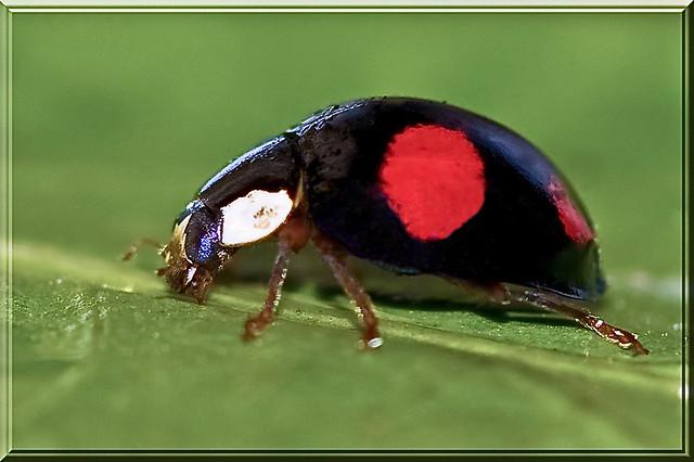 Coccinelle noire point rouge flickr photo sharing - Insecte rouge et noir ...