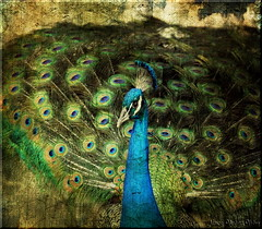 Peacock in texture by Nancy Violeta Velez