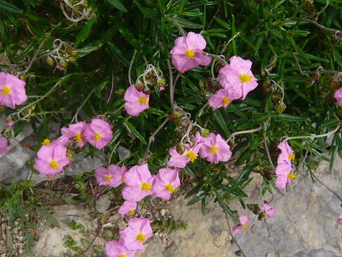 Rock Rose Helianthemum