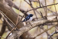 Black-throated Blue Warbler (lifer) RBA