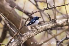 Black-throated Blue Warbler (lifer) RBA